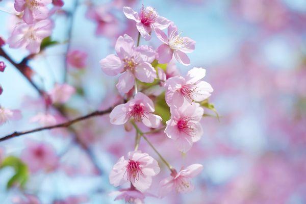 岡山県の花 モモの花