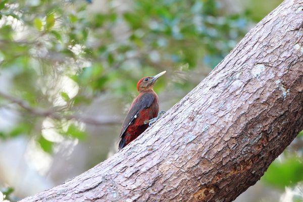 沖縄県の鳥 ノグチゲラ