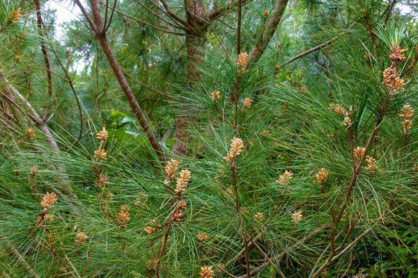 沖縄県の木 リュウキュウマツ