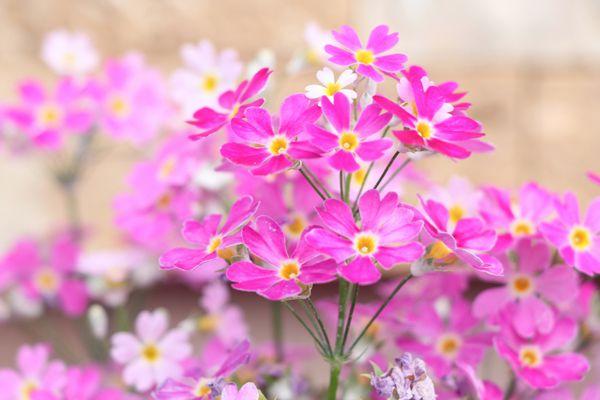大阪府の花 サクラソウ