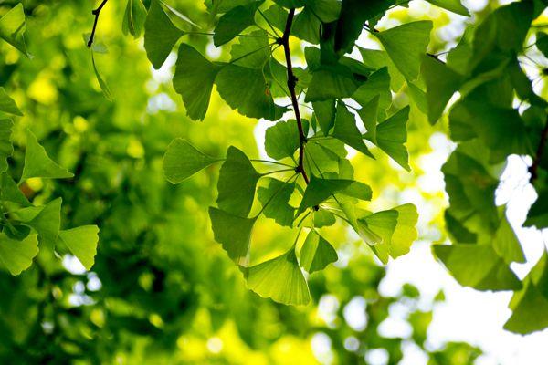 大阪府の木 イチョウ