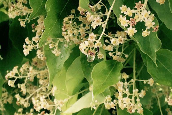佐賀県の花 クスの花
