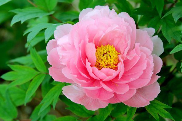 島根県の花 ボタン