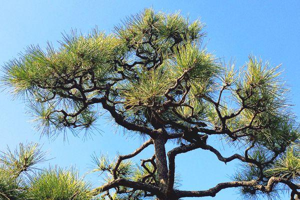 島根県の木 クロマツ
