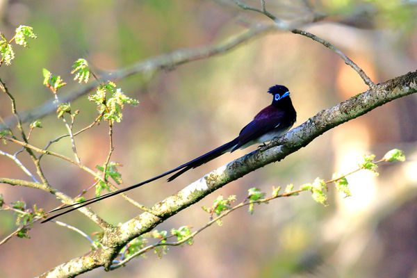 静岡県の鳥 サンコウチョウ