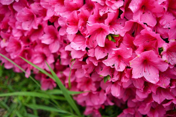 静岡県の花 ツツジ
