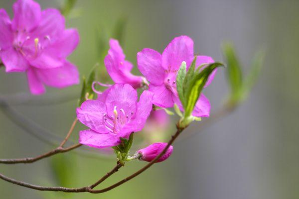 栃木県の花 ヤシオツツジ