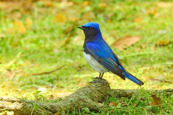 栃木県の鳥 オオルリ