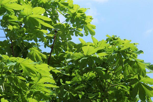 栃木県の木 トチノキ