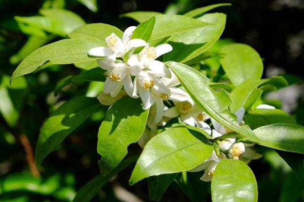 徳島県の花 すだちの花