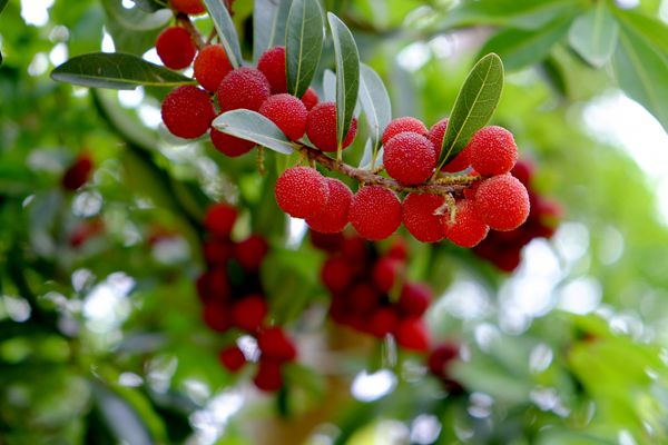 徳島県の木 ヤマモモ