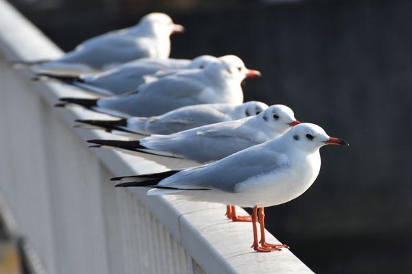 東京都の鳥 ユリカモメ