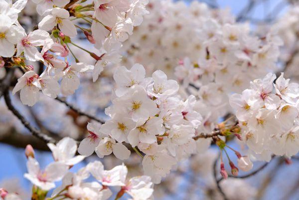東京都の花 ソメイヨシノ