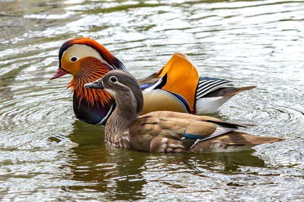 鳥取県の鳥 オシドリ