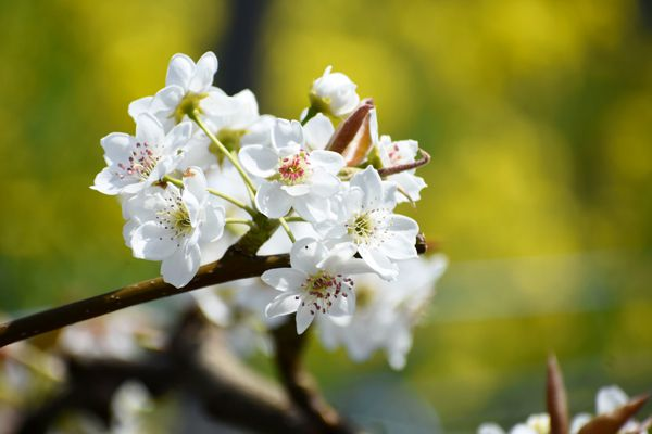 鳥取県の花 二十世紀梨の花
