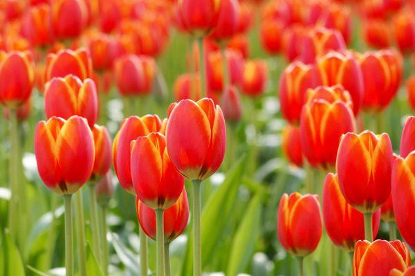 富山県の花 チューリップ