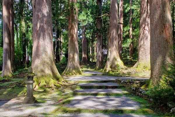 富山県の木 タテヤマスギ