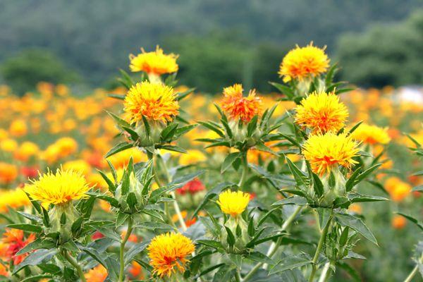 山形県の花 ベニバナ