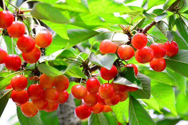 山形県の木 サクランボ