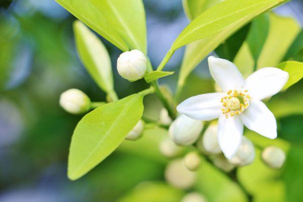 山口県の花 夏みかんの花