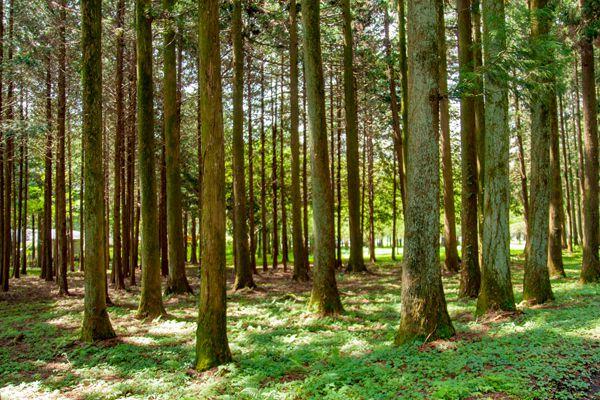 山口県の木 アカマツ