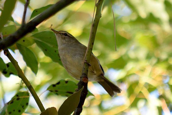 山梨県の鳥 ウグイス