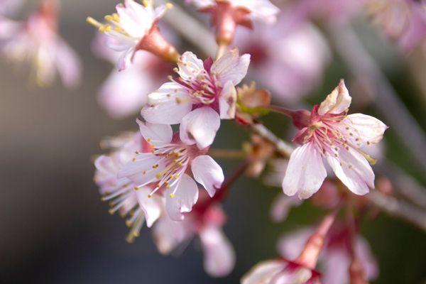 山梨県の花 フジサクラ